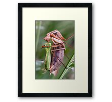 Headless mating mantis Framed Print