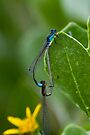 Mister & Missus Bluetail Damselfly by Normf