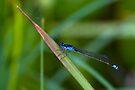 Bluetail Damselfly - Ischnura heterosticta   by Normf