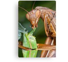 Headless mating mantis - detail Canvas Print