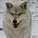 Happy and Alert Wolf by Tracy Wazny