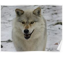 Happy and Alert Wolf Poster
