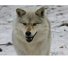 Happy and Alert Wolf Photographic Print