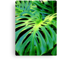 Cheese Plant  Canvas Print