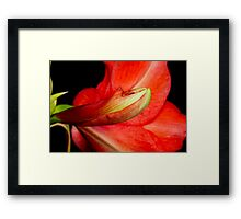 Amaryllis Flower about to Bloom Framed Print