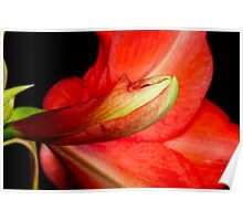 Amaryllis Flower about to Bloom Poster