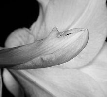 Amaryllis Flower about to Bloom in black and white by Bo Insogna