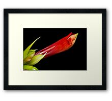 A close up of an  Colorful Orange Amaryllis about to Bloom Framed Print