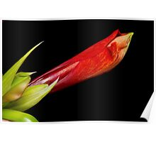 A close up of an  Colorful Orange Amaryllis about to Bloom Poster