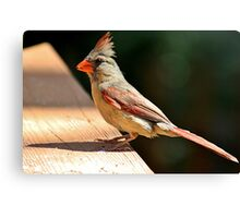 Female northern cardinal in the morning sun Canvas Print