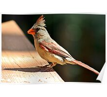 Female northern cardinal in the morning sun Poster