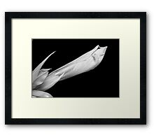 A close-up of an Amaryllis flower about to Bloom BW Framed Print