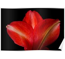 Close-up of Colorful Amaryllis Flower Petals Poster