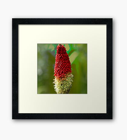 Red Hot Poker Framed Print