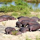 Hippos (Hippopotamus amphibius) on the riverbank, South Africa by Margaret  Hyde