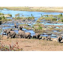 Elephants (Loxodonta) in the River, Kruger, South Africa  Photographic Print