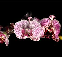 Orchid by tkrewson