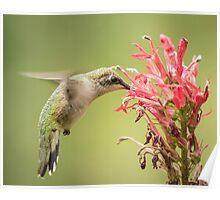 Ruby Throated Hummingbird 10-2015 Poster