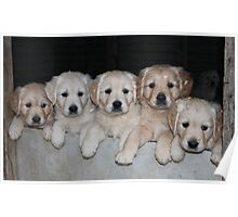 Golden Retriever puppies by Camuka Poster