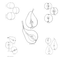 Gracefully Shaped Fruit: assemblage of 1906 illustrations Photographic Print