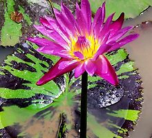 Water Lilly, Laos 2 by Angela Gannicott