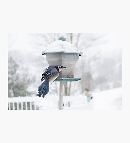 Blue Jay in the Snow Photographic Print