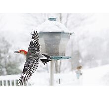 Woodpecker in Flight Photographic Print
