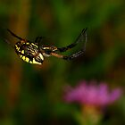Black and Yellow Garden Spider High Wire Act by Robert Miesner