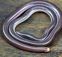 Blind Snake, Ramphotyphlops proximus by Normf