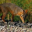 Gray Fox Hunting for Voles by Robert Miesner