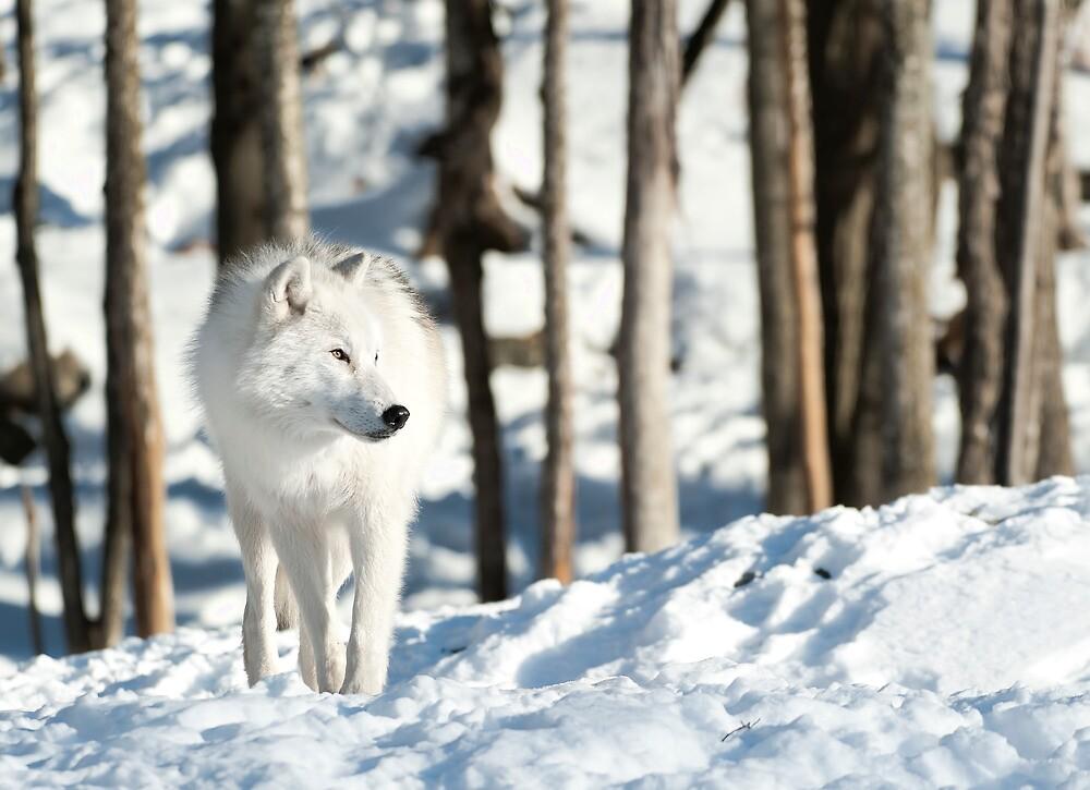 Arctic Wolf by Bill Maynard