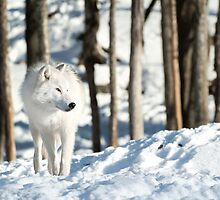 Arctic Wolf by Bill Maynard
