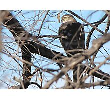 Merlin ~ Sulphur Springs Valley,AZ Photographic Print