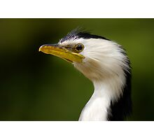 Little Shag Photographic Print