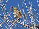 Meadowlark by Kimberly Chadwick