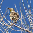 Meadowlark by Kimberly P-Chadwick
