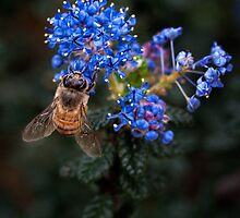 Bee on Ceanothus by Celeste Mookherjee