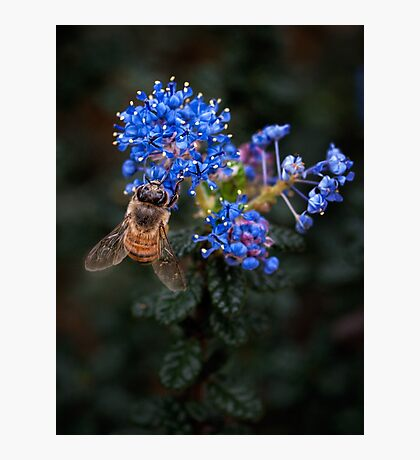 Bee on Ceanothus Photographic Print