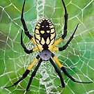 Marbled Orb Weaver - Ohio by Justin Overholt