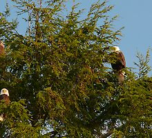 Four Bald Eagles by Gail Bridger