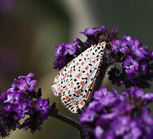 Crimson-speckled moth by Daphne Gonzalvez