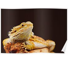 Central Bearded Dragon (Pogona vitticeps) Poster