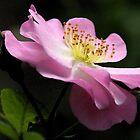 Single pink Rose  by julie anne  grattan