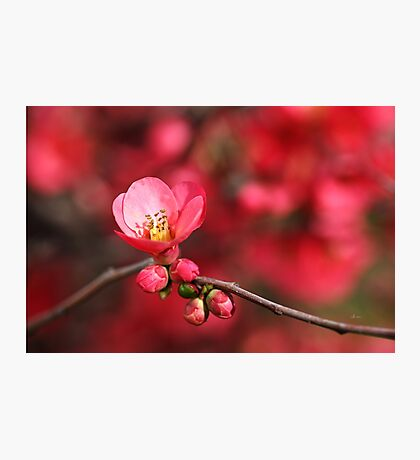 Warmth Of Flowering Quince Photographic Print