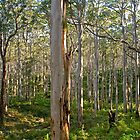 Boranup Karri Forest, South Western Australia by Cindy Ritchie