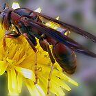 Red Wasp Gathering Pollen by ldermid75