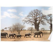 Elephants and boab trees Poster