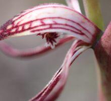 Pyrorchis nigricans Macro Sticker