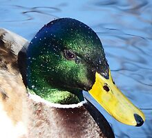 Happy Mallard by DEB VINCENT