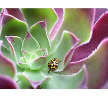 Ladybird in Aeonium Photographic Print
